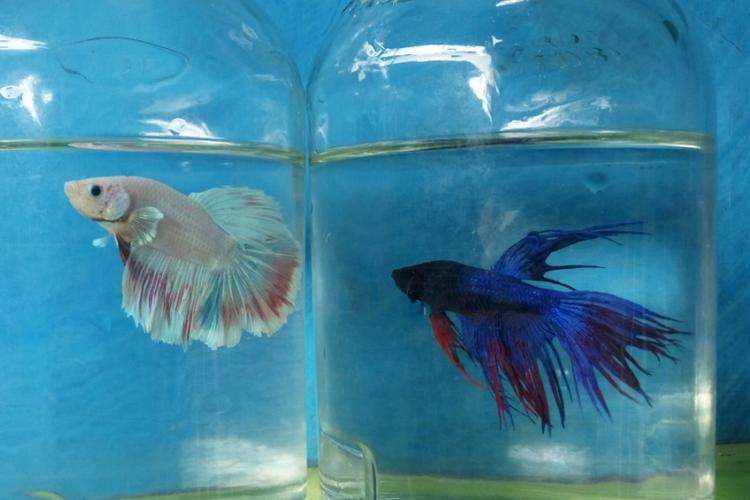 Lelang Ikan Cupang, Katar Curug Kumpulkan Uang untuk Anak Yatim