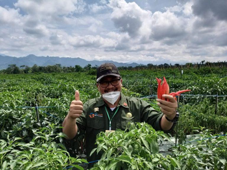 Panen Cabai, Dirjen Hortikultura Pastikan Pasokan Cabai Aman