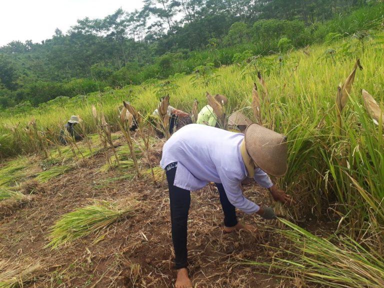 Gunungkidul Panen Ribuan Hektar Tanaman Palawija Pada Musim Tanam Pertama