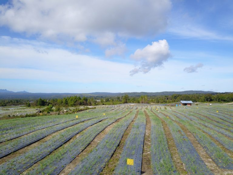 Petani Food Estate Horti di Humbahas Mulai Panen