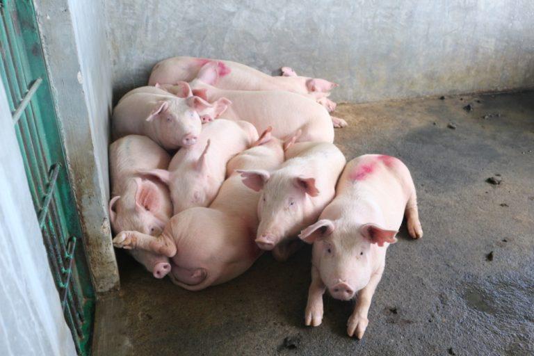 Tingginya Harga Daging Babi Hanya Terjadi di 3 Daerah