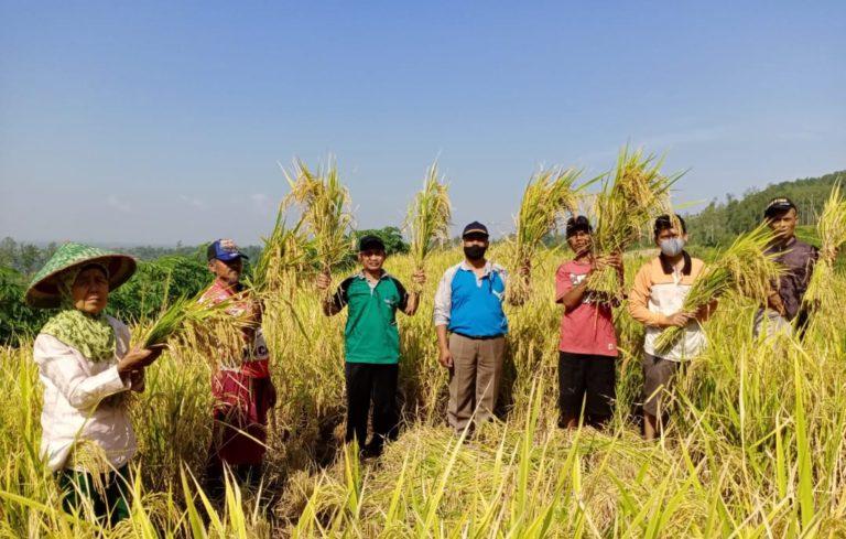 Petani Berterima Kasih, Panen Perdana Program PATB Padi di Cilacap Memuaskan