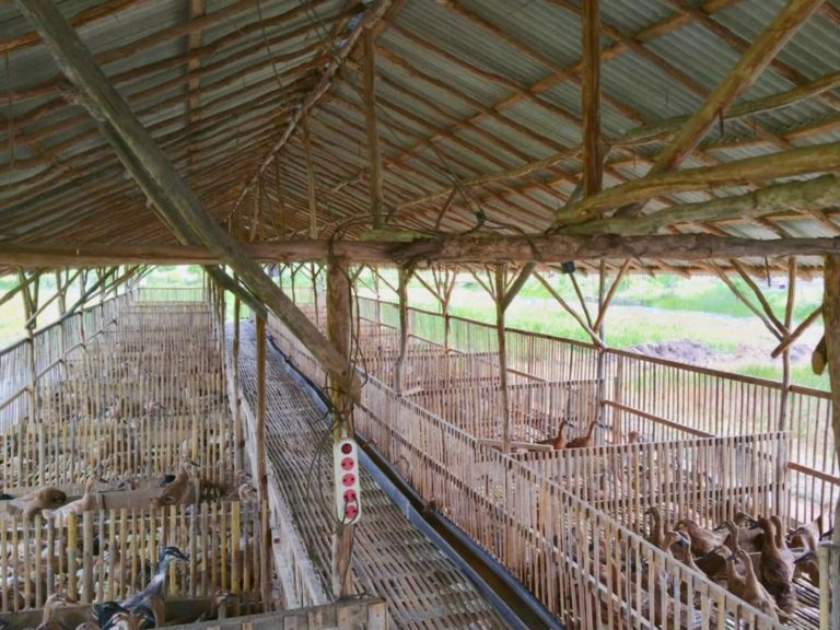 Berbasis Korporasi, Peternak Itik Food Estate Kalteng Meraih Hasil Menggembirakan