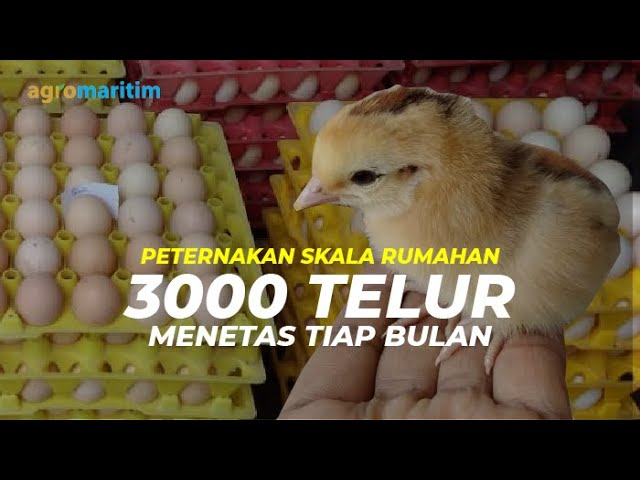 Peluang Usaha, Untung dari Ternak Ayam Kampung Unggul