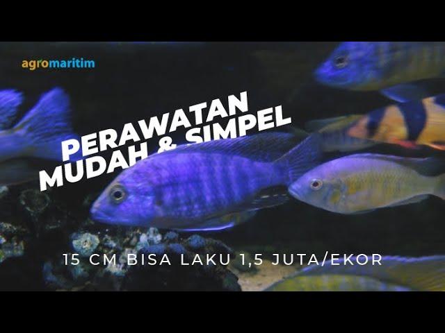 Bisnis Rumahan Ternak Ikan Cichlid di Akuarium