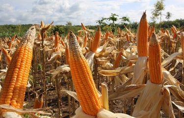 Panen Jagung Masih Melimpah, Kementan Dorong Pola Kemitraan Petani dan Industri