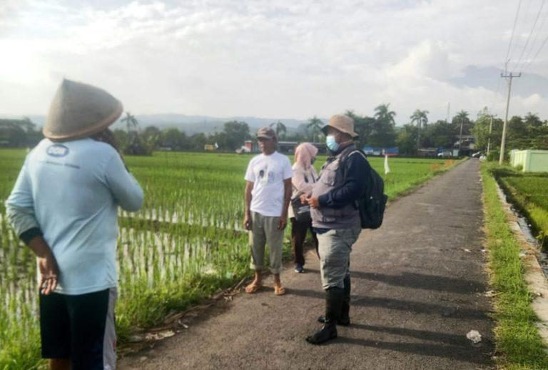 Masih di Bawah Ambang Kendali, Kementan Tetap Imbau Waspada Wereng Coklat Cirebon