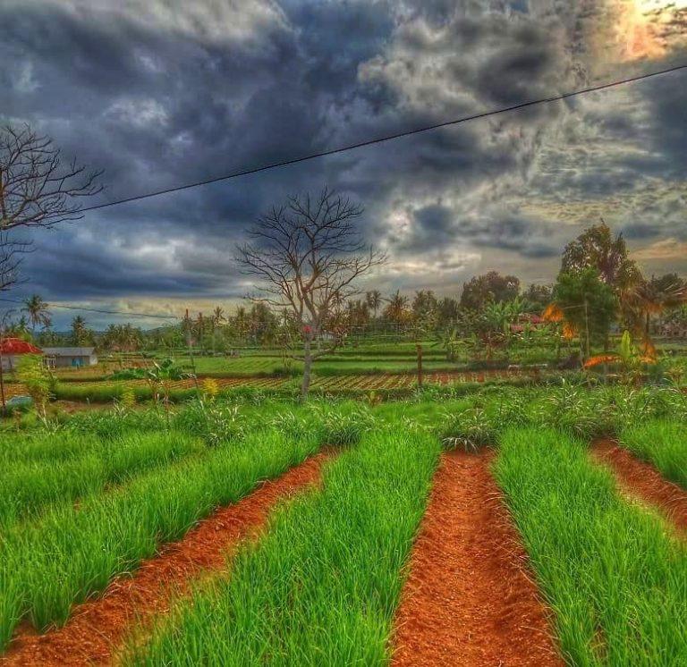 Bawang Merah dan Cabai Rawit Rubaru Jadi Potensi Andalan Hortikultura Sumenep