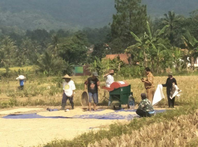 Produktivitas Padi Petani Ciamis Meningkat Berkat Program OPIP Kementan