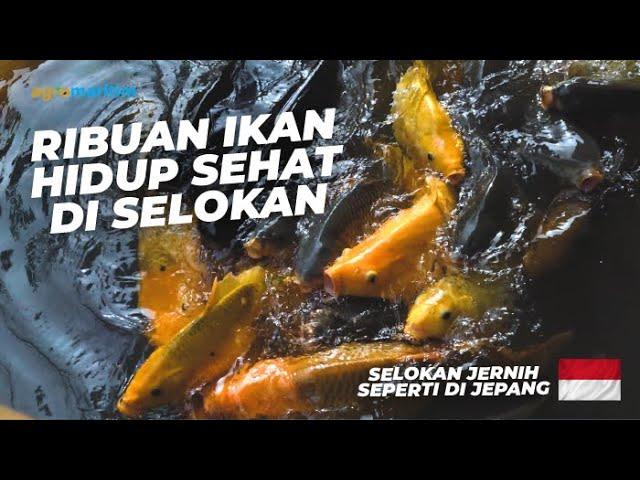 Wisata Edukasi Budidaya Ikan di Selokan