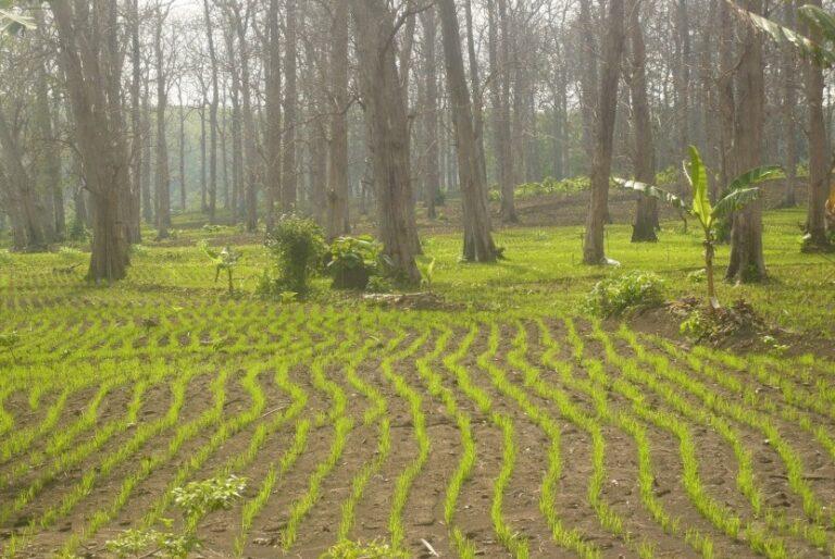 Agroforestry Dukung Peningkatan Produksi Padi