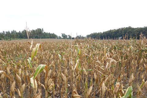 NTB dan Lampung Kini Produksi Jagung Bahan Industri Pangan