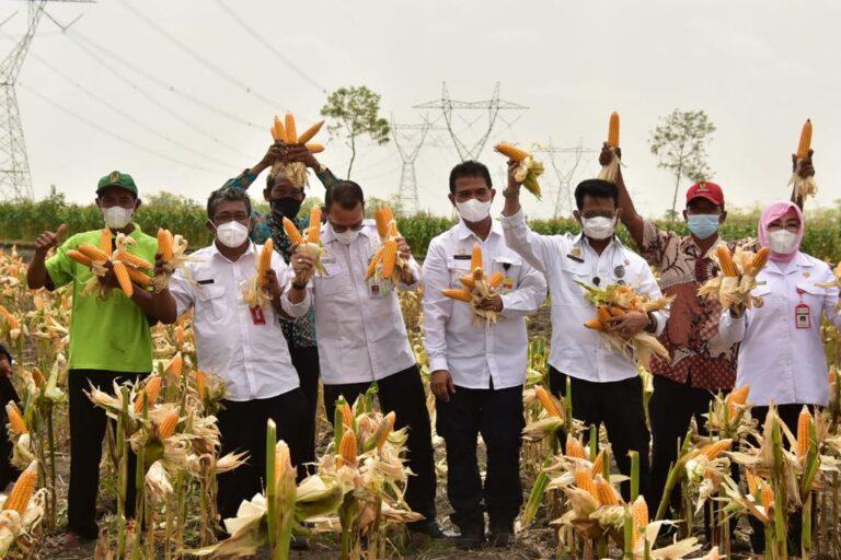 Panen Jagung Nusantara, Bukti Pasokan Jagung Melimpah