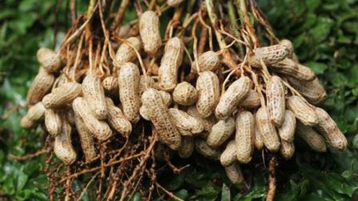 Tingkatkan Daya Saing Ekspor, Kementan Dorong Perbaikan Kualitas Kacang Tanah