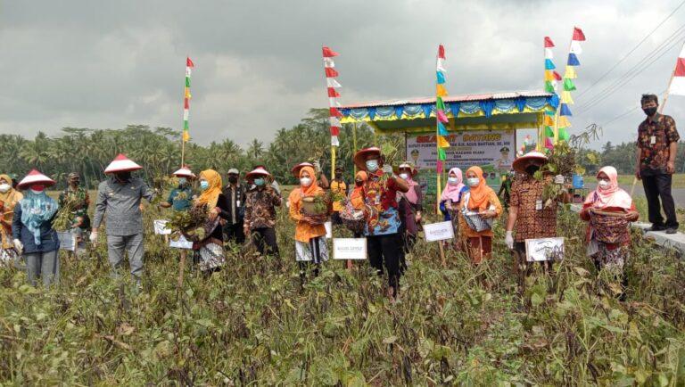 Kementan bersama Bupati Purworejo Panen Korporasi Benih Kacang Hijau