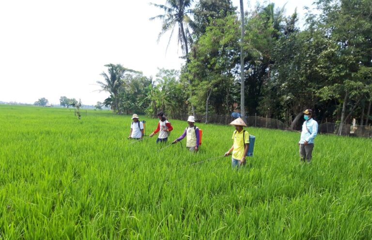 Petani Lampung Panen Program Pemberdayaan dalam Pemasyarakatan PHT (P4)