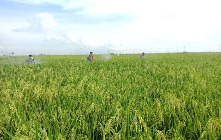 Petani Lampung Dukung Kementan Gencarkan Budidaya Tanaman Sehat Padi