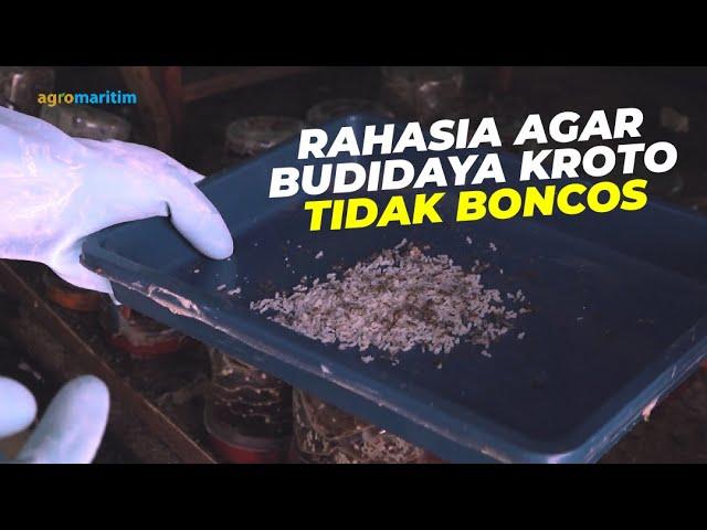 Panen Kroto dan Tips Sukses Budidayanya