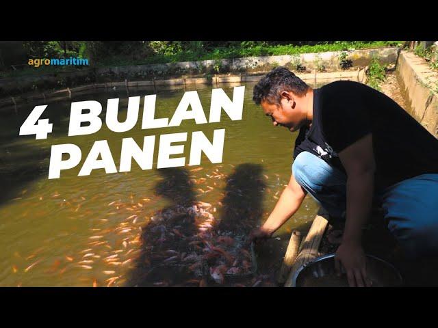 Budidaya Nila Bangkok Sistem Aquaponik